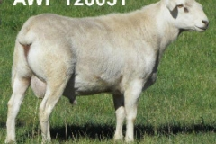 120051 Used Heavily at Baringa, never been shorn