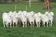 2014 Stud Rams Showing type and correctness