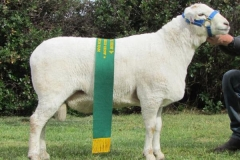 Reserve Champion Ram Dubbo - 12 113