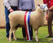 10 319- Champion Dubbo 2011 Sold Equal top price $5500