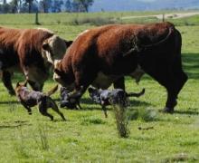 Boss, Boof & Wiz splitting bulls