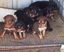 Trooper x Anna pup's 3 weeks