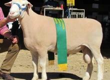 10 401tw - Reserve Ram Dubbo 2012 Half Share Sold to Bundara Downs. Twin Sold To Koonwarra $6000