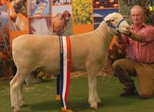 10069-Senior & Grand Champion Ram Adelaide Royal