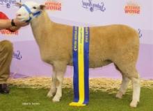 13W013 Res. Champion Ewe Sydney Royal By 12W126