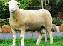"""""""Impact 100013- 2nd Group of 3 Rams Adel. 1st Sydney & Dubbo, Sold to Kanoona park Stud in 2012 for $8000"""