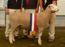 Junior & Grand Champion Ram Bendigo 2011- Sired by Tattykeel 080024tw