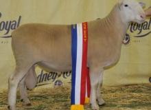 Supreme Prime Lamb Sire Sydney 2010- 080242