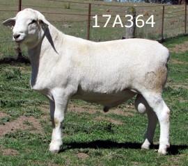 Baringa 17A364