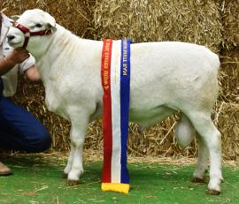 17A364 Champion Australian White Ram Sydney Royal 2018